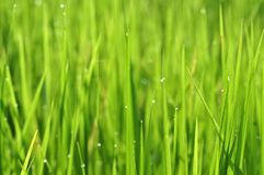 Dew on Fresh green grass with water drops in in the morning Gre stock photo