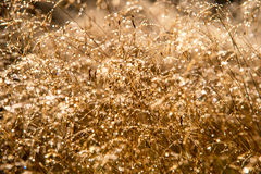 Dew on Golden Grass. Morning light hitting dew on golden grass making it look like the stalks are sprinkled with diamonds Royalty Free Stock Images