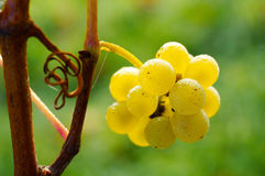 Dew on grapes. Grapes and spiders web in morning mist Stock Photography
