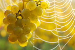 Dew on grapes. Grapes and spiders web in morning mist Royalty Free Stock Photos