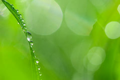 Dew on gras. Dew on lush green grass Stock Image