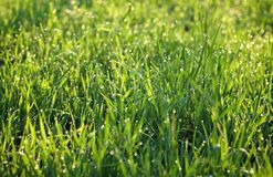 Dew on grass. Morning dew shine on grass Royalty Free Stock Image
