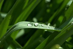 Dew on Grass Royalty Free Stock Photo