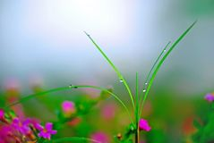 Dew on grass. Nature's beauty is everywhere ,taken in Hainan Island, China Royalty Free Stock Images