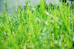 Dew on the Grass. After raining in Thailand in the morning Stock Photography