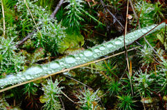Dew Grass Royalty Free Stock Images