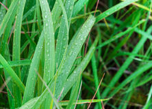 Dew on grass Royalty Free Stock Images