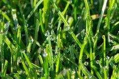 Dew on grass. Morning dew on the green grass on lawn Stock Photos