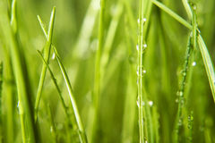 Dew on grass. Dew drops with green grass Royalty Free Stock Photo