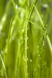 Dew on grass Royalty Free Stock Image