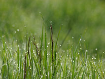 Dew grass. Dew on early morning wild grass, macro shot Stock Image
