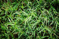 Dew on the grass beautiful Stock Image