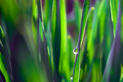 Dew on Grass. Closeup of dew drops on grass Royalty Free Stock Photography