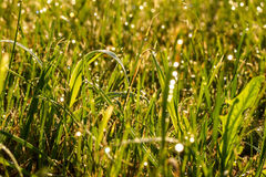 Dew on grass. Dew on the grass, dawn, autumn Stock Photography