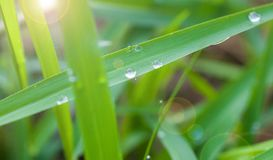 Dew on the grass. In the morning Royalty Free Stock Image