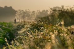 Dew on grass. Dew on grass, natural stock image with copy space - winter season. Kolkata, India Stock Images