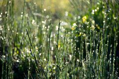 Dew on the Grass royalty free stock photo
