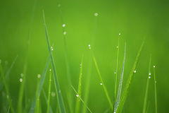 Dew on grass. Dewdrop on grass at ricefield Stock Photos