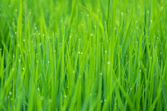 Dew on the grass. Drops of dew on a green grass Stock Photo