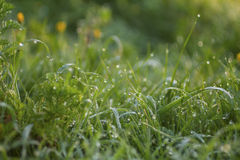Dew. On the grass in the early morning Stock Images