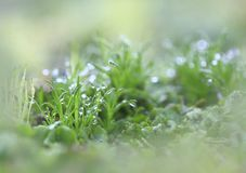 Dew on a grass. Dew on a grass, in the early spring morning on mossy swamps Royalty Free Stock Photography