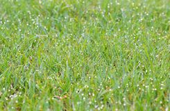 Dew on the grass field Stock Photo