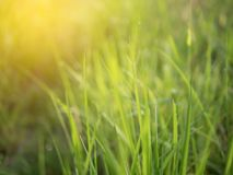 Dew on grass filed on the morning with sunray. Effect. Green nature background with blurred abstract natural design color summer plant light spring leaf texture royalty free stock image