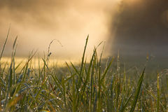 Dew on the grass with fog Royalty Free Stock Photos