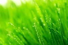 Dew on a grass. Dew on a fresh green grass Stock Photo
