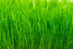 Dew on a grass. Dew on a fresh green grass Royalty Free Stock Photography