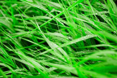 Dew on grass Stock Photography