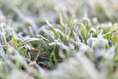 Dew on the grass with hoarfrost. In the park in nature Royalty Free Stock Photos