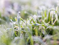 Dew on the grass with hoarfrost. In the park in nature Royalty Free Stock Images