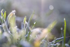 Dew on the grass with hoarfrost. In the park in nature Stock Photos