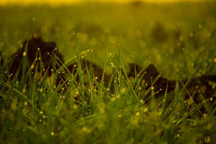 Dew on Grass. Dew is liquid water droplets that form on grass, spider webs and other things in the early morning or late evening. Dew only forms under certain Stock Photo