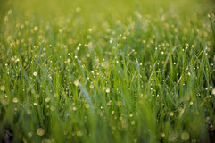 Dew on grass. Macro details dew on green grass Royalty Free Stock Images