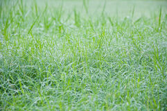 Dew and grass Royalty Free Stock Image