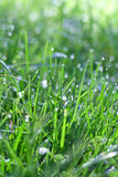 Dew on the grass. Morning dew on the grass Stock Photo