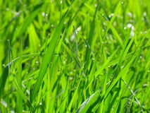 Dew is on a grass. Morning dew, it appears, - very even the useful phenomenon of nature. It accumulates in itself energy of stars, Lunar/Mars, a Sun, Earth Royalty Free Stock Photos