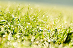 Dew on the grass. Morning dew on the grass in bright sunshine Stock Photography