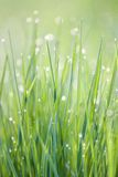 Dew in the grass. Morning dew drops on green grass Stock Images