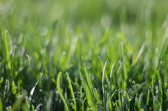 Dew on grass. Morning dew on grass in spring day Stock Photography