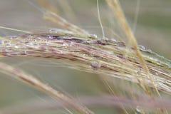 Dew on Grass. Morning dew on grass stems Stock Photos