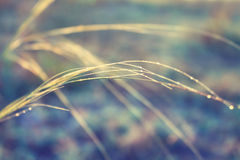Dew on the grass in the morning sun. Drops of dew on the blades of grass at sunrise royalty free stock photography