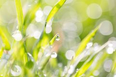Dew on the grass in nature . In the park in nature Stock Images