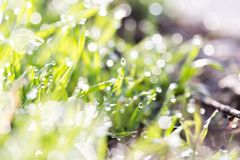 Dew on the grass in nature . In the park in nature Royalty Free Stock Image
