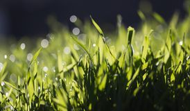 Dew on the grass in nature. In the park in nature Royalty Free Stock Photos