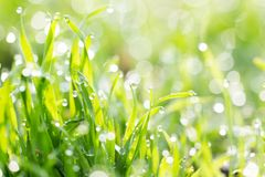Dew on the grass in nature Royalty Free Stock Photo