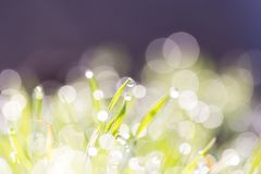 Dew on the grass in nature Royalty Free Stock Image