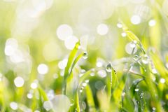 Dew on the grass in nature . In the park in nature Stock Photos